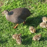 Cape Spurfowl and chicks